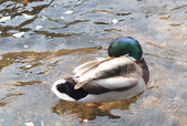 Mallard Duck Preening — Stock Photo