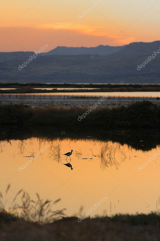 A black-winged stilt on salt flats, Lesvos, Greece  Stock Photo #7798602