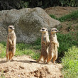 Meerkats - Stock fotografie