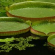 Waterlily - Stock Photo