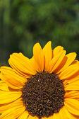 Gelbe blume — Stockfoto