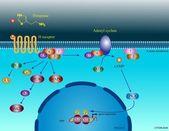 Histamine molecular pathways — Stock Photo