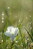 Morning Dew and White Flower, Africa — Stock Photo