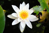 White water lily on the lake in a summer day — Stock Photo