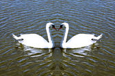 Close up scene with swans on the lake — Stock Photo