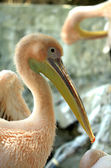 Pink-pelican — Stock Photo
