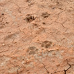 Dog footprint — Stock Photo