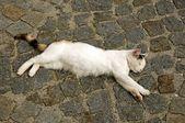 White Cat — Stok fotoğraf
