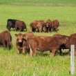 Green meadow with brown cows, Alberta, Canada — Stock Photo