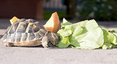 Tortoise eats lettuce — Stock Photo