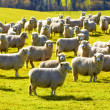 A photo of a herd of sheep - Stock Photo
