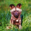 The African wild dog - Stock Photo