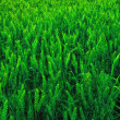 Green young wheat - Stock Photo