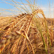 A photo of wheat ready to harvest — Stock Photo
