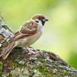 Stock Photo: Telephoto of sparrow in sunlight