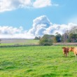 A photo of cows in New Zealand — Stock Photo