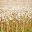 Wheat ready to harvest — Stock Photo