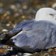 Sea gull at the beach — Photo