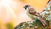 A telephoto of a sparrow in sunlight — Stock Photo