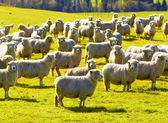 A photo of a herd of sheep — Stock Photo
