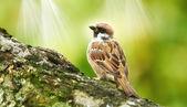 Sparrow i solljus — Stockfoto