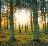 Ein foto von einem pinienwald im sonnenuntergang — Stockfoto