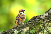 Sparrow sitting in a tree — 图库照片