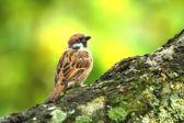 Sparrow sitting in a tree — Stok fotoğraf