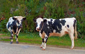 Cows in New Zealand — Stock Photo