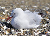 Sea gull at the beach — Stock Photo