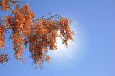 Rode herfstbladeren in zonlicht — Stockfoto