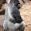 Gorilla in Tenerife Loro zoo park 2 — Stock Photo