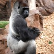Gorilla in Tenerife Loro zoo park — Stock Photo