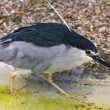Black crowned night heron — Stock Photo