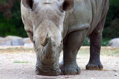 Rhino plays vacuum cleaner — Stock Photo