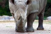 Rhino plays vacuum cleaner — Stock Photo