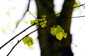 De geboorte van de bladeren. — Stockfoto