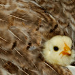 Baby Chicken Snuggled in Feathers — Stock Photo