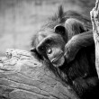 Sad Chimp — Stock Photo