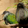 nicobar pigeon — Stock Photo
