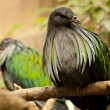 Nicobar Pigeon — Stock Photo #7899771