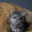 Lovely fluffy kitten — Stock Photo