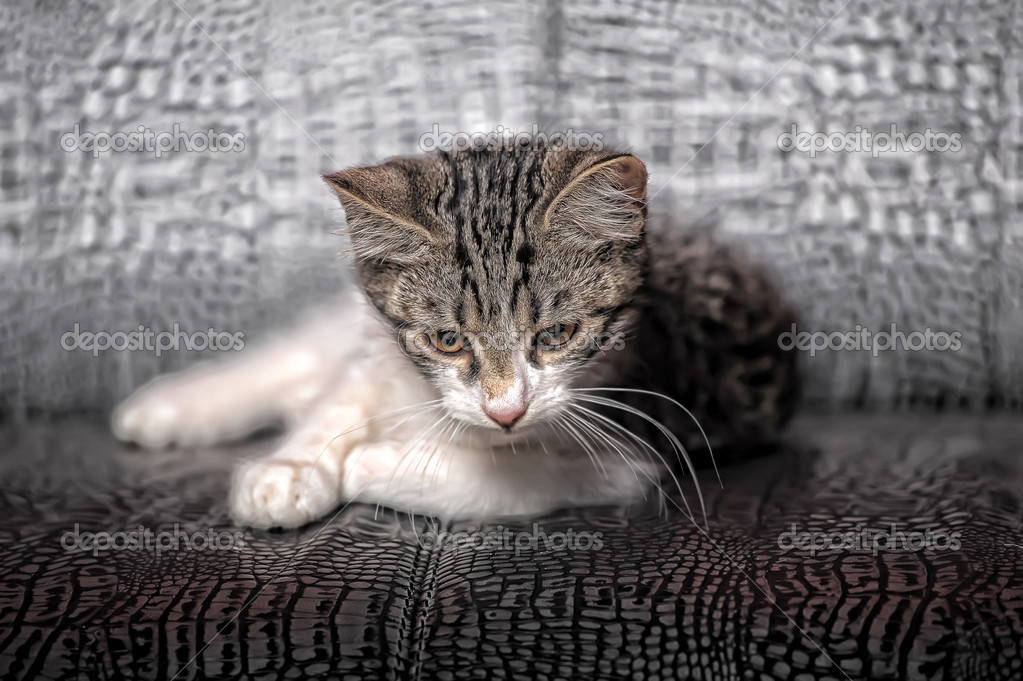 Gray and white kitten — Stock Photo #6838218