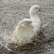 A white goose - Stockfoto