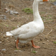 Royalty-Free Stock Photo: White goose