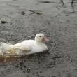 Stock Photo: A white goose