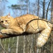 Beautiful fluffy ginger cat - Foto Stock