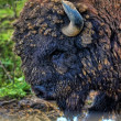 Bison bonasus, european bison, — Stock Photo