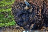 Bison bonasus, european bison, — Stock Photo