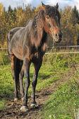 茶色の馬牧場で — ストック写真
